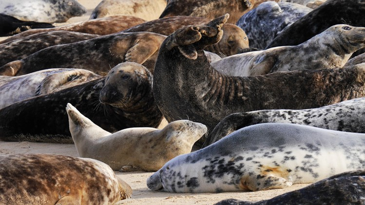A seal colony at Horsey