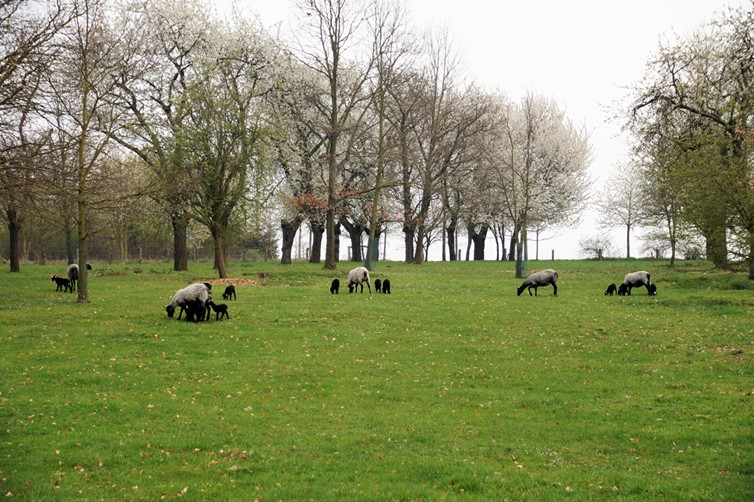 A green grassy field in Suffolk littered with trees and grazing sheep