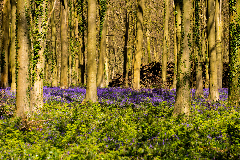 A thick forest littered with bluebells