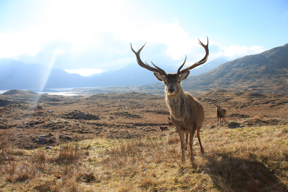 A red deer stag standing on a grassy patch of a mountainous wilderness in Scotland