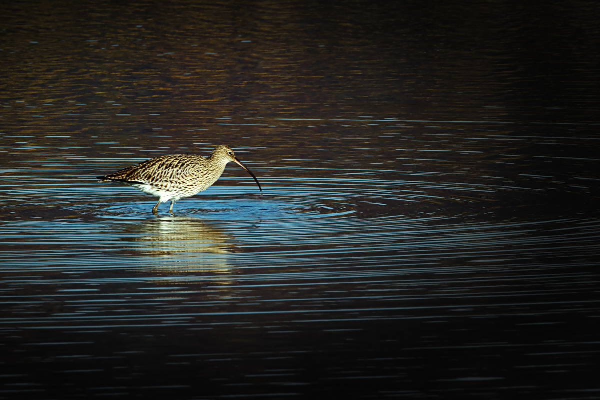 A curlew bird with a long curved beak hunting in a lake