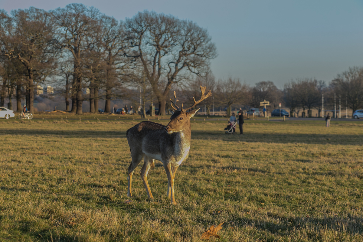 A deer standing on a grass area in Richmond Park with a mother and pram watching from afar